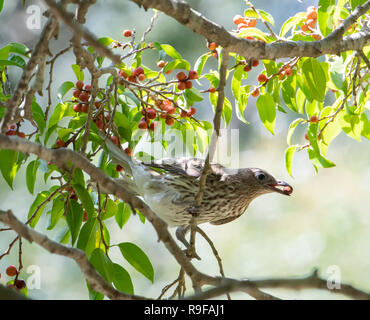 Male Yellow Figbird, Northern Race (Sphecotheres flaviventris) with food in beak, Lake Tinaroo, Atherton Tableland,  Far North Queensland, FNQ, QLD, A - Stock Image