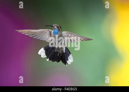 Arizona, Madera Canyon. Male blue-throated hummingbird with spread wings. Credit as: Wendy Kaveney / Jaynes Gallery - Stock Image