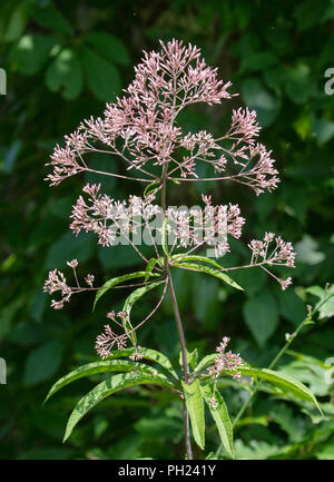 A tall Joe-Pye Weed (Eutrochium purpureum) with flowers blooms near the edge of the woods - Stock Image