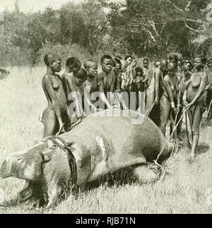 Kavirondo women with a dead hippo, north east of Lake Victoria, East Africa (then part of the British Empire). They are dragging it back to their village for meat. - Stock Image
