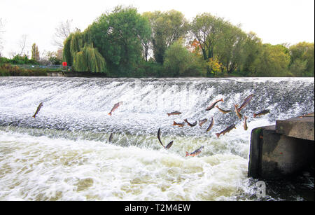 Atlantic salmon (Salmo salar) jump out of the water at the Shrewsbury Weir on the River Severn in an attempt to move upstream to spawn. Shropshire, En - Stock Image