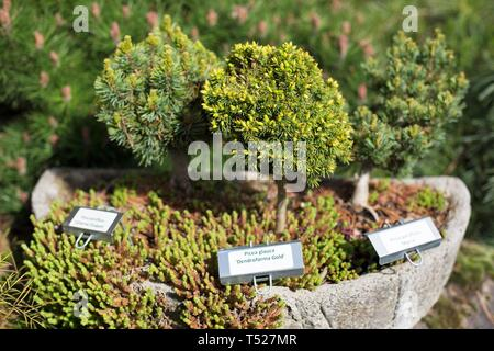 A display of bonsai trees at the Oregon Garden in Silverton, Oregon, USA. - Stock Image