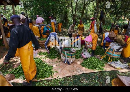 Kenya, Kericho county, Kericho, tea collect and weighing - Stock Image