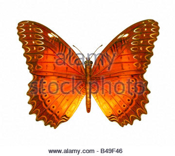 Butterfly-Lacewing - Stock Image