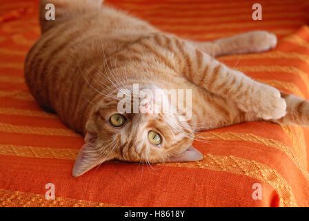 European cat with red fur over the bed - Stock Image