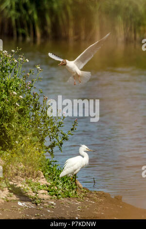 East Riding of Yorkshire, UK. 6th July 2018. Blacktoft sands Google 6th July 2018: Clear blue sky's on a very hot day, 2018 turning out to be a very good breeding year for many spices of wetland birds. Clifford Norton Alamy  Live News. Credit: Clifford Norton/Alamy Live News - Stock Image