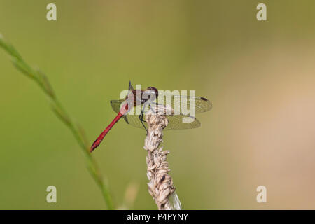 A male Ruddy Darter Dragonfly (Sympetrum sanguineum) resting in the sun at the Hickling Broad Norfolk Wildlife Trust reserve, UK. - Stock Image