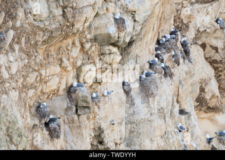 Kittiwakes ( Rissa tridactyla) nesting on limestone cliffs in Marsden Bay, north east England, UK - Stock Image