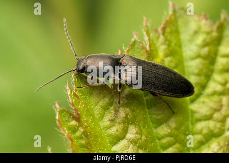 Click Beetle perched on bramble leaf. Tipperary, Ireland - Stock Image