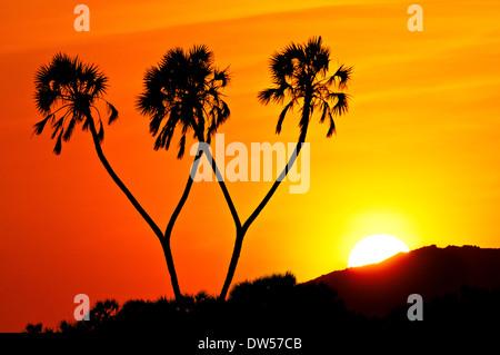Sunrise behind palm trees along the Ewaso Ng'iro River in Samburu in Kenya. - Stock Image