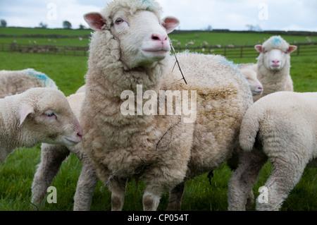 Dorset sheep in Darley - Stock Image