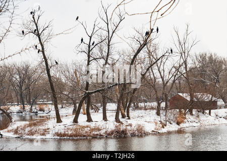 Double-crested Cormorants, Phalacrocorax, perch in trees next to a lake in Sedgwick county park, Wichita, Kansas, USA. - Stock Image