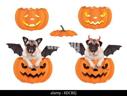cute funny pug dog in pumpkin,  dressed up for Halloween as bat and devil, isolated on white background - Stock Image