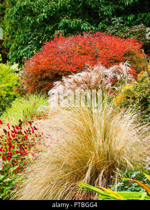 Autumn interest at The Garden House, Buckland Monachorum, Devon, with red foliage of Prunus incisa Kojo-No-Mai behind Miscanthus 'Flamingo' - Stock Image