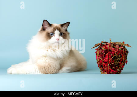 regdoll male cat lying and looking at decorative red apple - Stock Image
