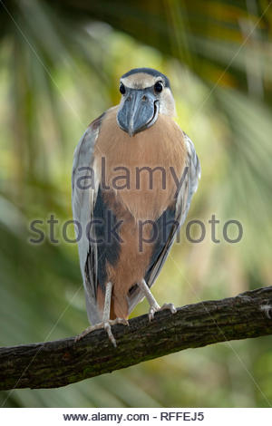 Boat Billed Heron, Jacksonville Zoo, Florida - Stock Image