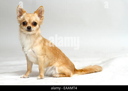 Long haired Chihuahua on white background - Stock Image