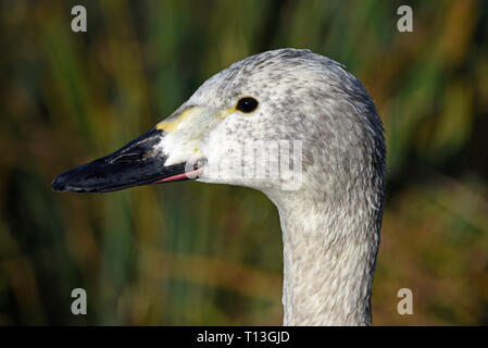 Close-up of a cygnet Bewick Swan (Cygnus bewickii) in Southern England - Stock Image