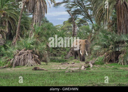 An elephant walks out of the woods in Kenya. - Stock Image