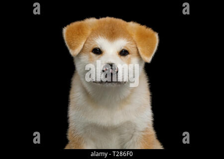 Portrait of Cute Akita Inu Puppy with Spotted nose on Isolated Black Background, front view - Stock Image