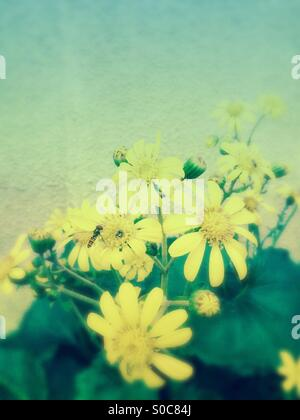 Yellow daisies with leaves and bee, with blurred effect and light blue green gradation. - Stock Image