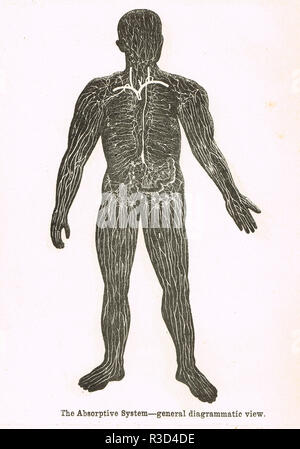 Absorptive system, human body.   A 19th century diagram - Stock Image