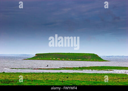 Cows grazing on a tiny island at the coast near Roskilde in Denmark. - Stock Image