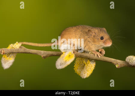 Harvest mouse (Micromys minutus), a small mammal or rodent species, on pussy willow. Cute animal. - Stock Image