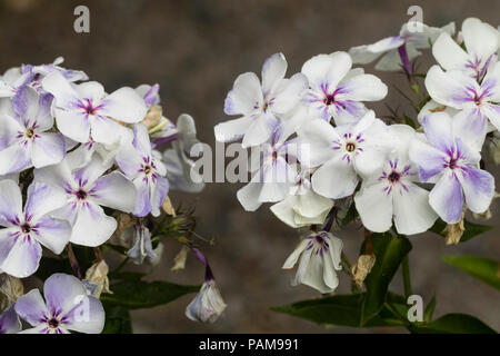 Pale flowers of the summer blooming, compact, slightly fragrant perennial, Phlox paniculata Flame 'Violet' - Stock Image