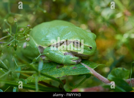 Close up of european tree frog (Hyla arborea) sitting on a green leaf - Stock Image