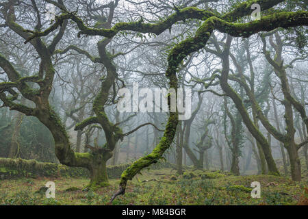 Moss covered deciduous trees in morning fog, Halstock Wood, Dartmoor, Devon. Winter (February) 2018. - Stock Image