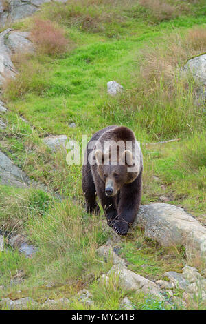 Brown Bear in the wild - Stock Image