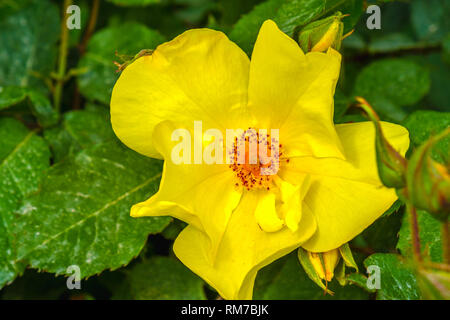 golden wings rose yellow flower background - Stock Image