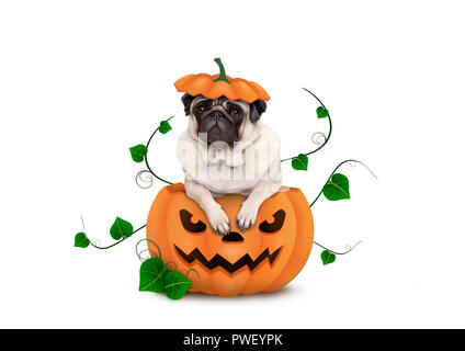 cute Halloween pug puppy dog sitting in carved pumpkin with scary face, wearing lid as hat, isolated on white background - Stock Image