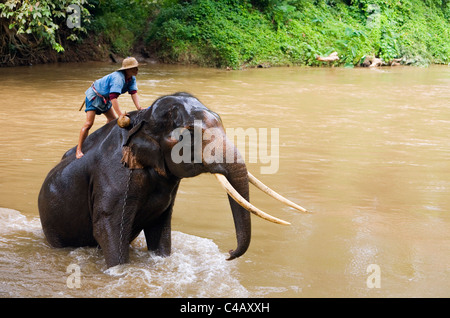 Thailand, Chiang Mai, Chiang Dao. A mahout stands atop his elephant at the Chiang Dao Elephant Training Centre. - Stock Image