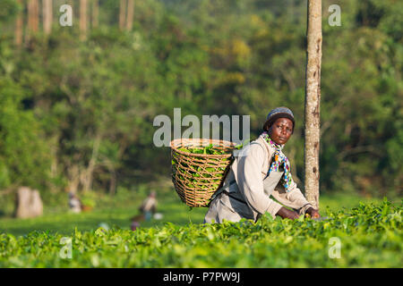 Tea Harvesting, Ugandan Woman Harvests Tea in Ankole region, Uganda - Stock Image