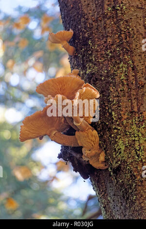 Chanterelle mushrooms growing on the trunk of a tree in Pacific Spirit Regional Park, Vancouver, BC, Canada - Stock Image