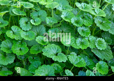 Centella asiatica or Gotu kola growing in greenhouse,  native to wetlands in Asia. - Stock Image