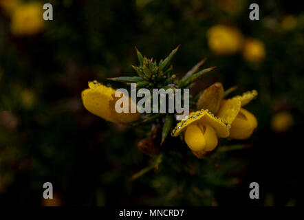 Gorse flowers after rain in Exmoor National Park - Stock Image