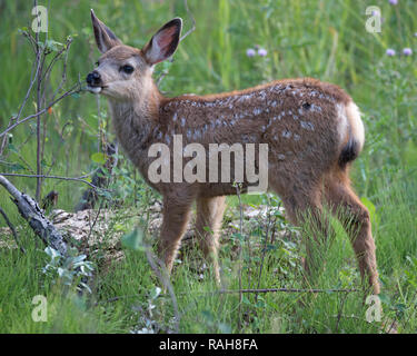 Mule Deer fawn (Odocoileus hemionus) browsing on Saskatoon berry shrub (Amelanchier alnifolia) - Stock Image