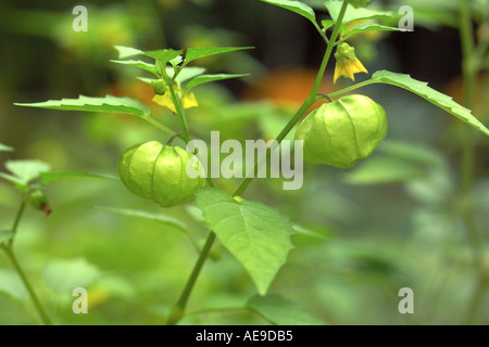 Tomatio plant in Vermont garden - Stock Image