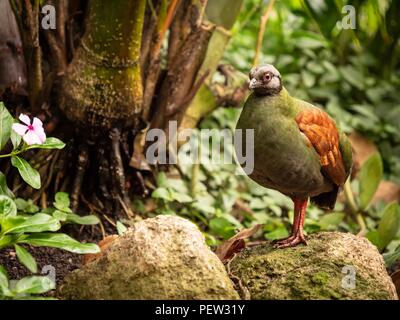 A female crested partridge in a rain forest - Stock Image