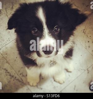 Border Collie puppy dog - Stock Image