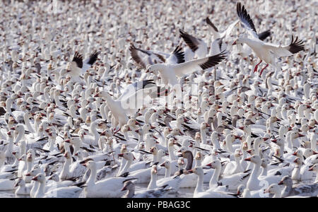 Snow geese (Chen caerulescens) large flock with some landing, Bosque del Apache, New Mexico, USA, December. - Stock Image