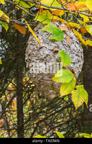Wasp - Vespidae nest hanging from a deciduous tree branch in autumn, Quebec, Canada - Stock Image