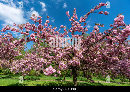 Cherry alley, Teltow, near Berlin, Mauerweg, wall path, Brandenburg,  Germany - Stock Image