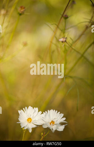 Two White Cosmos Flowers - Stock Image