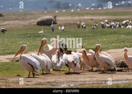 great white Pelicanus PELECANUS ONOCROTALUS NAKURU NATIONAL PARK KENYA East Africa - Stock Image