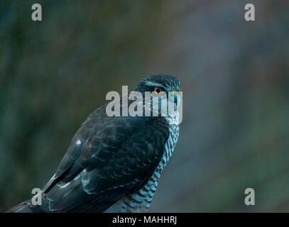 Female Sparrowhawk watching for prey - Stock Image