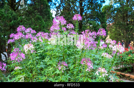 Cleome spider flower blooms in a beautiful garden - Stock Image